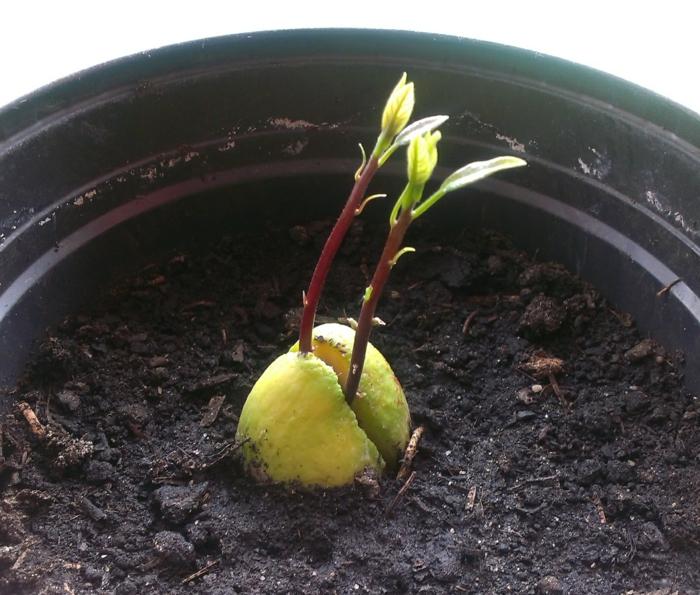 Plante avocat photo germer avocat partie nombre de fruits exotiques contiennent un noyau ou - Planter un noyau de litchi ...