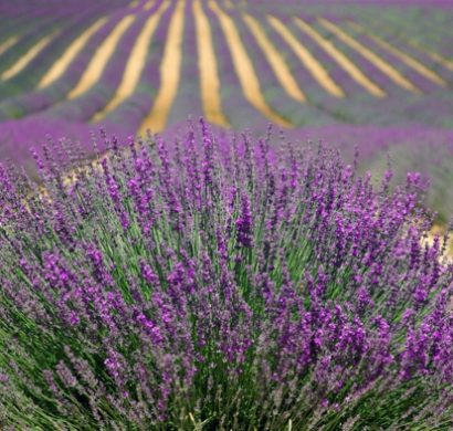 Quelles sont les plantes anti moustiques pour loigner les insectes - Produit anti moustique pour jardin ...