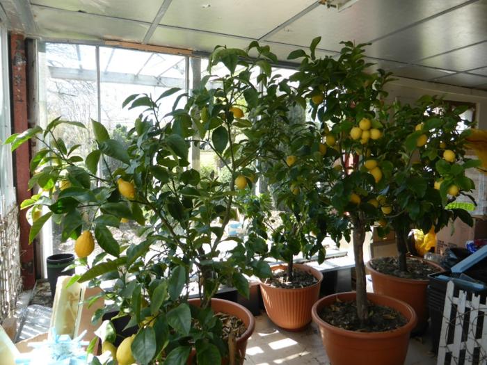 citronniers de grande taille