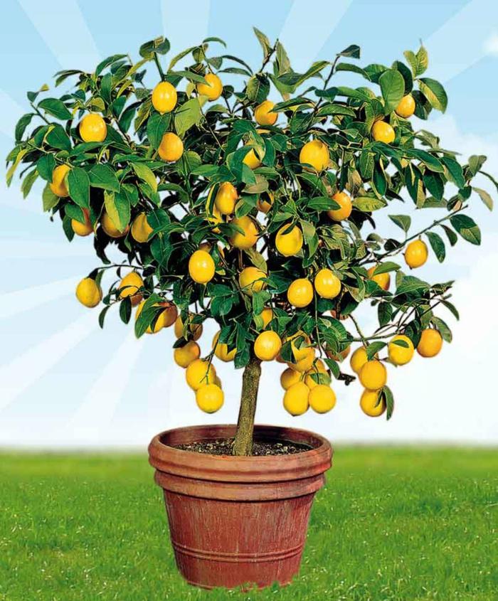 Картинка лимона на дереве