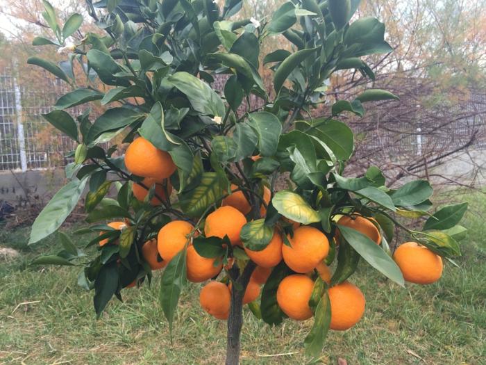 par exemple c'est le citronnier meyer