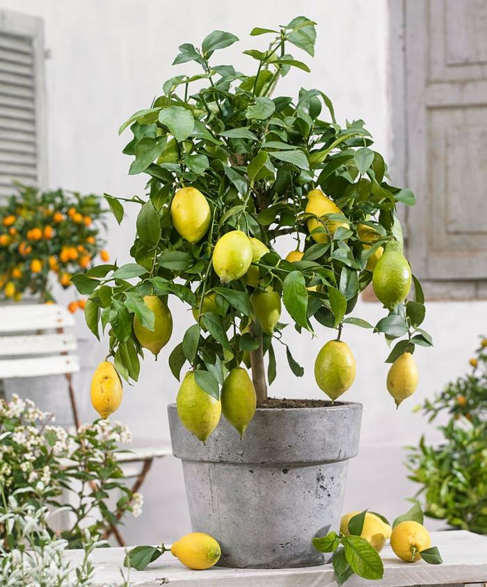 citronnier planté dans un pot