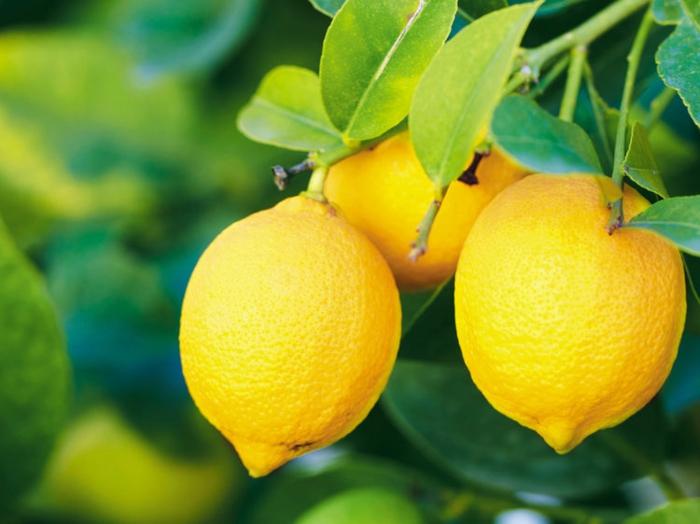 citrons production