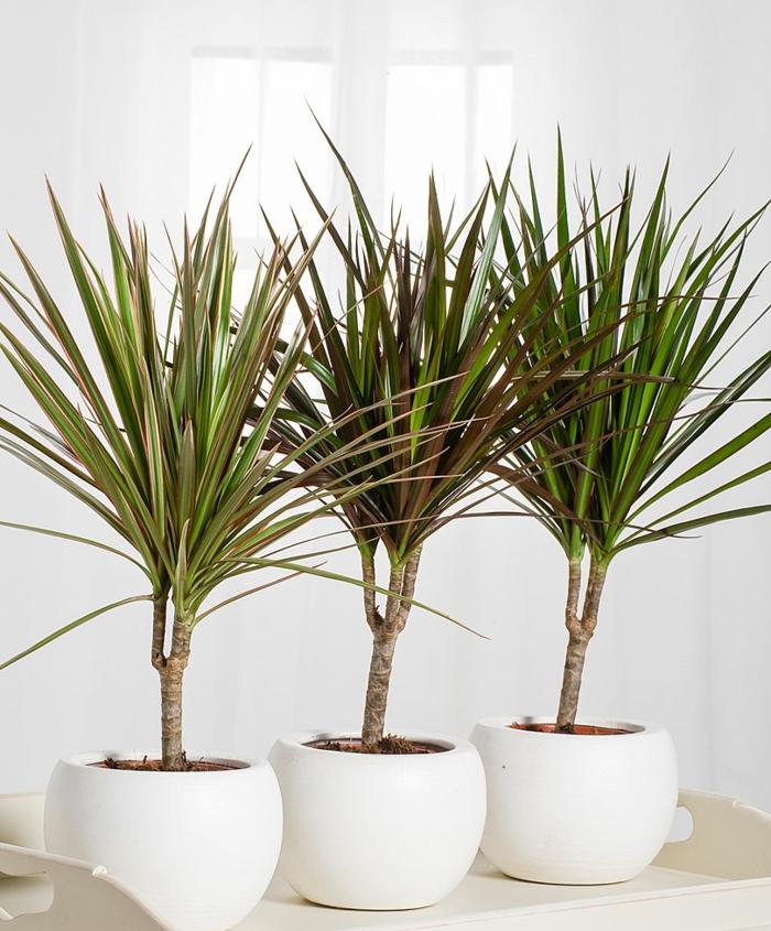 actuellement la dracaena est une plante dépolluante