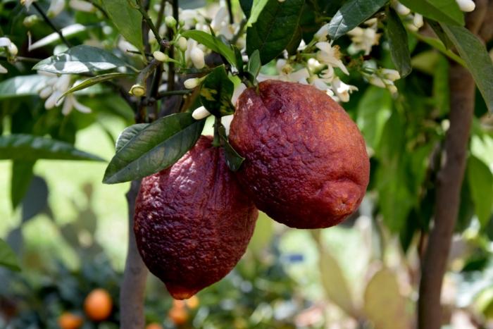 citronnier variété limone rosso