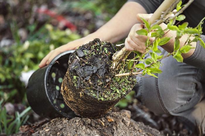 rempotage arbuste
