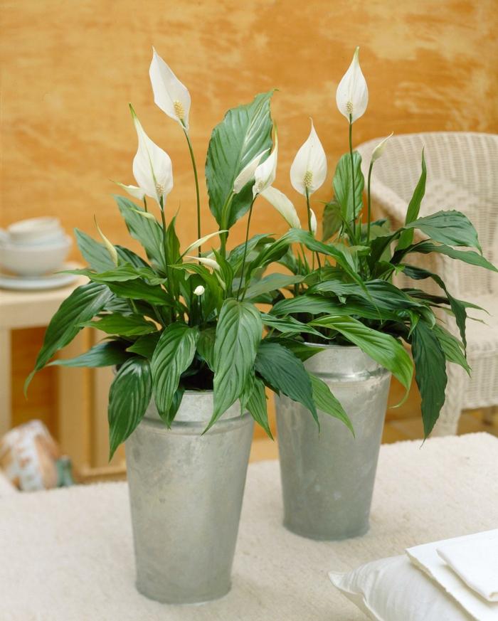 effectivement le spathiphyllum est une plante dépolluante