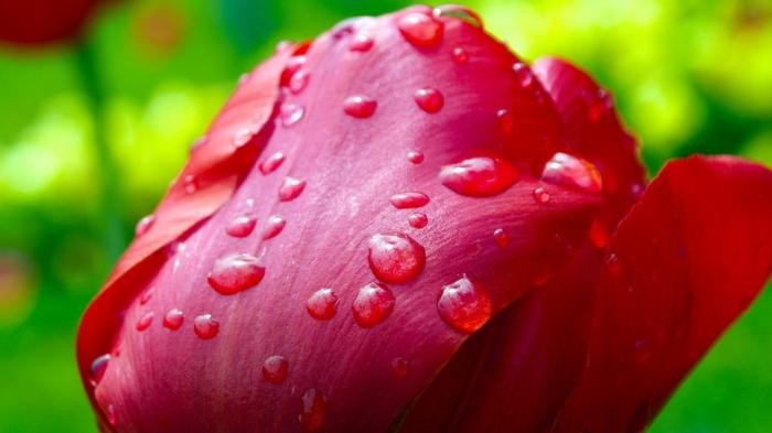 tulipe fleur de l'amour