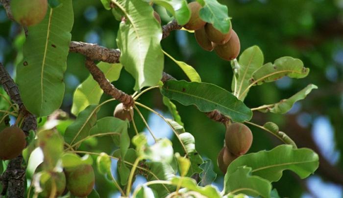 arbre karité, les bienfaits du beurre de karité