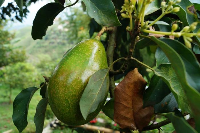 arbre d'avocat - fruit exotique cultivé à la maison