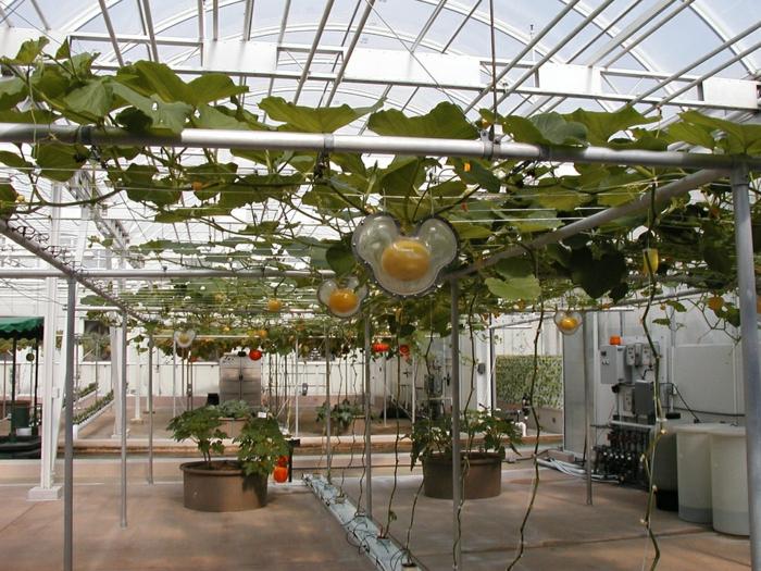 citrouilles en hydroponie