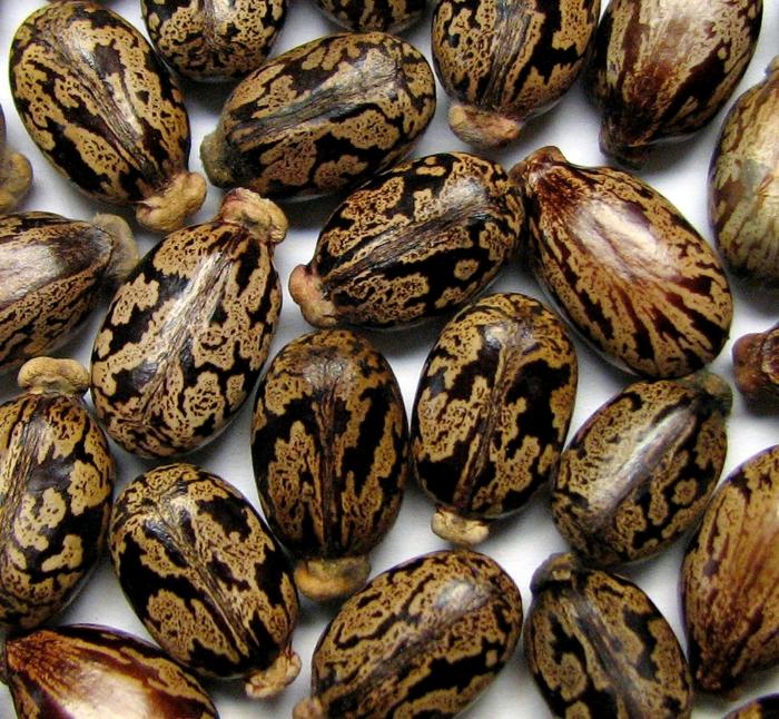 grains de l'huile de ricin