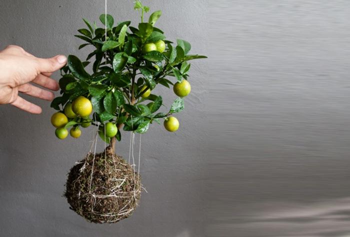 kokedama citronnier