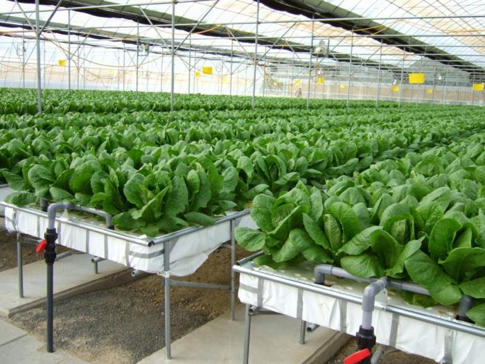 salades hydroponie