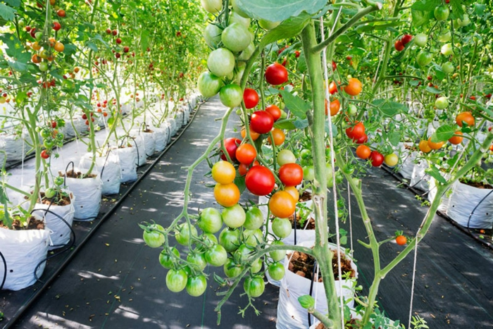 tomates hydroponie