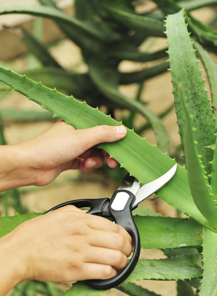 comment entretenir plante aloe vera