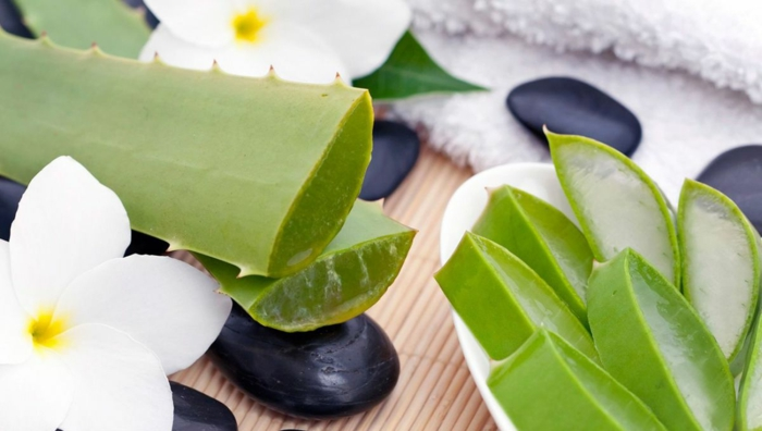 conseils comment entretenir plante aloe vera