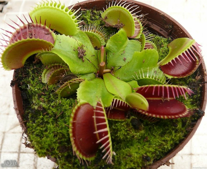 dionée plante carnivore attrape-mouche