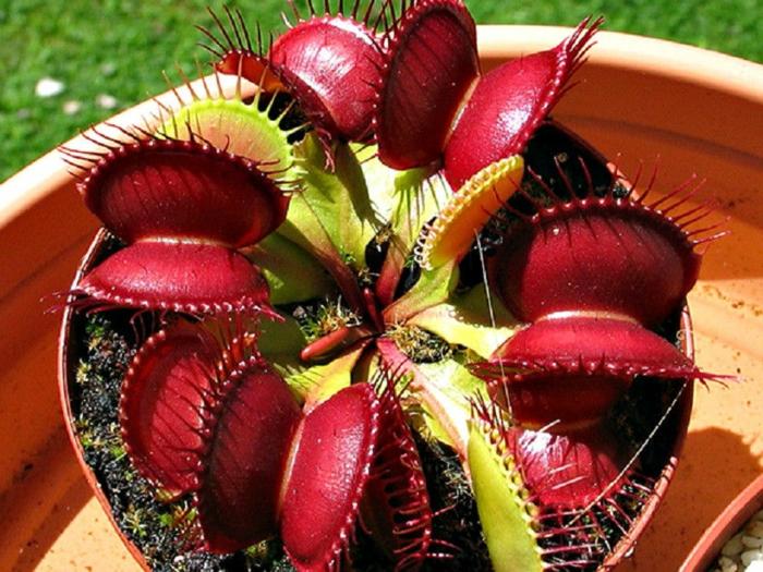 dionée plante carnivore