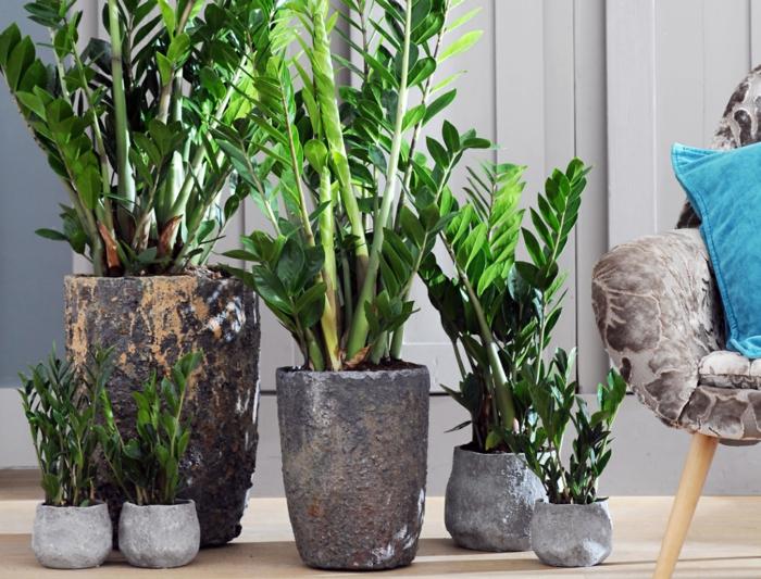 le zamioculcas plante d'intérieur