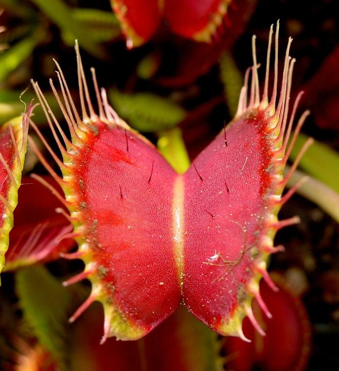plante attrape-mouches