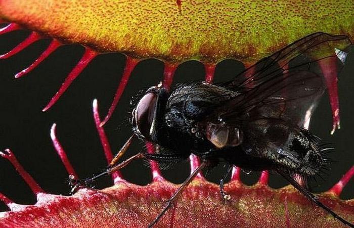 plante carnivore mange une mouche
