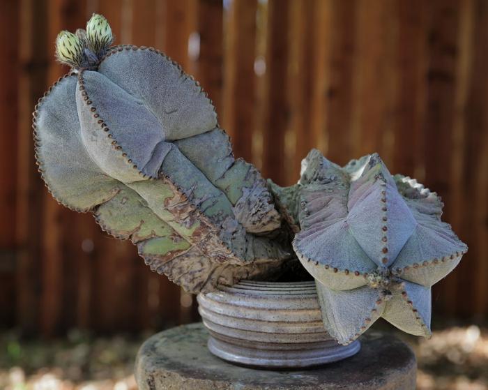 plante succulente cactus