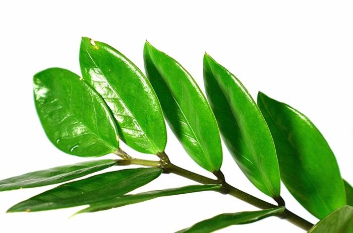 plante zz feuilles