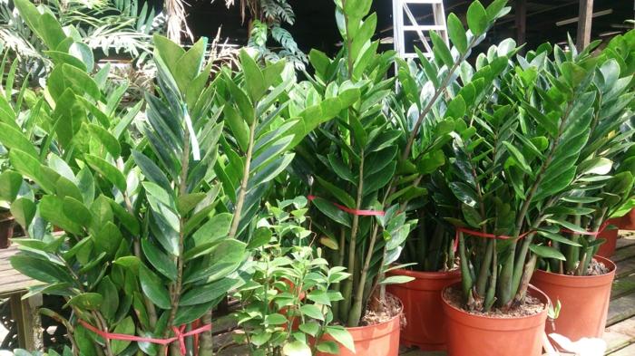 plantes Zamioculcas zamiifolia de grande taille