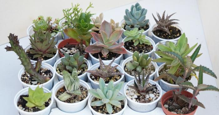 plantes succulentes mix