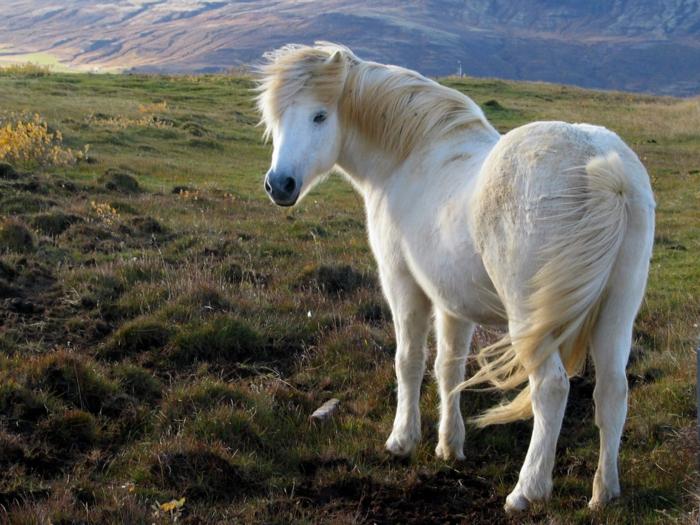 cheval islandais- voyager en islande
