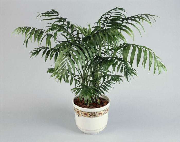 espère de palmier d'intérieur