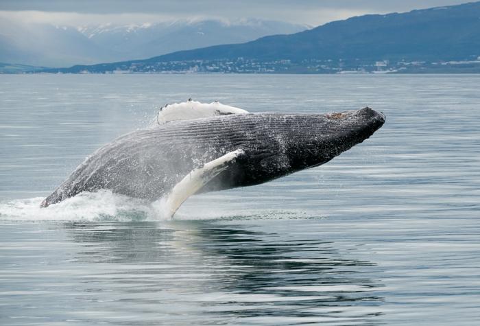 observer les baleines quand voyager en islande