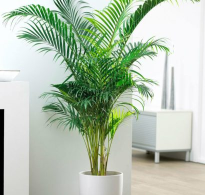 Comment r ussir votre palmier d 39 int rieur pour profiter de son exotisme - Ou planter un palmier dans son jardin ...