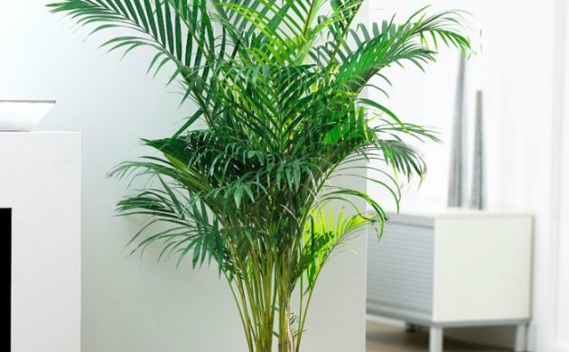 palmier d'intérieur aréca