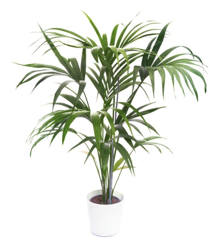 palmier de maison kentia