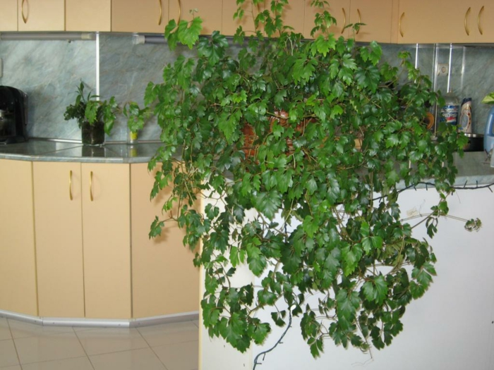 vigne d'appartement plante