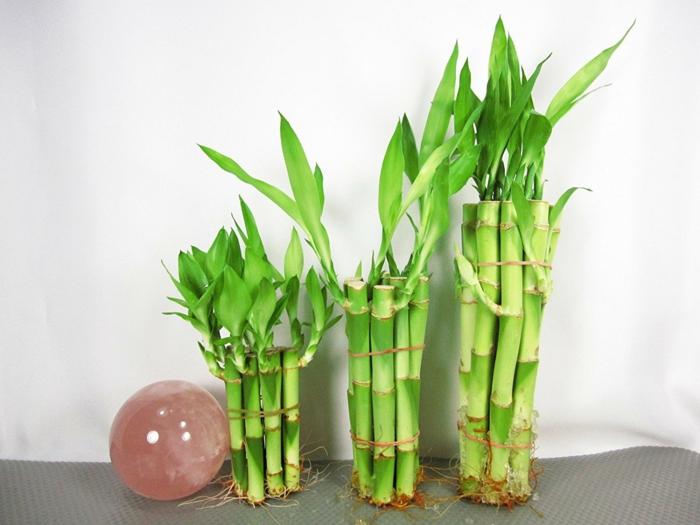bambous arrangés sans pots