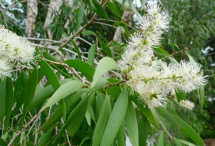 huile essentielle niaouli - la plante