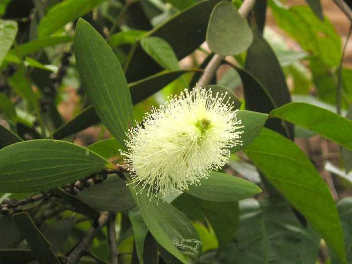 feuilles pour obtenir l'huile essentielle niaouli