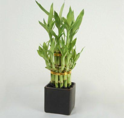 Bambou D Interieur Comment Cultiver Cette Plante Exotique