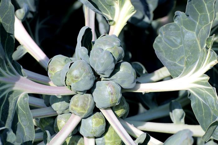 plante choux de Bruxelles