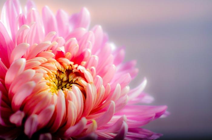 chrysanthème le langage des fleurs