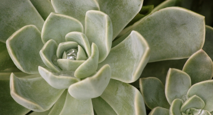 déco avec une plante succulente echeveria