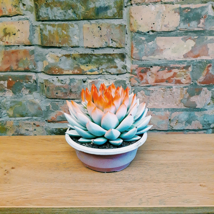 echeveria en orange plante succulente