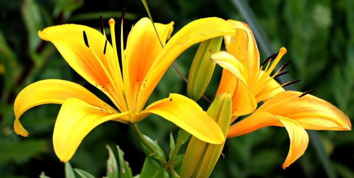 fleur de lys le langage des fleurs