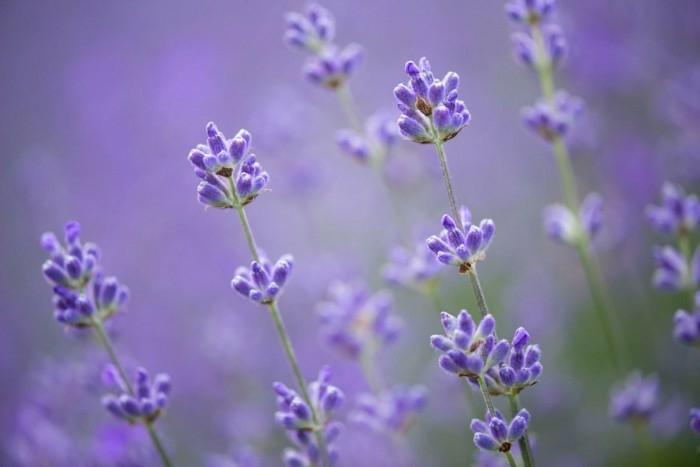 fleurs de lavande essence de lavande