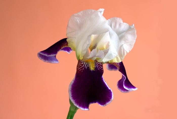 iris le langage des fleurs
