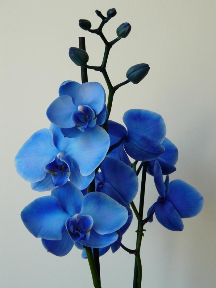 le langage des fleurs belle orchidée en bleu