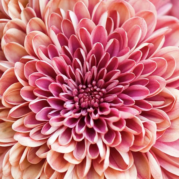 le langage des fleurs bouquet de chrysanthèmes